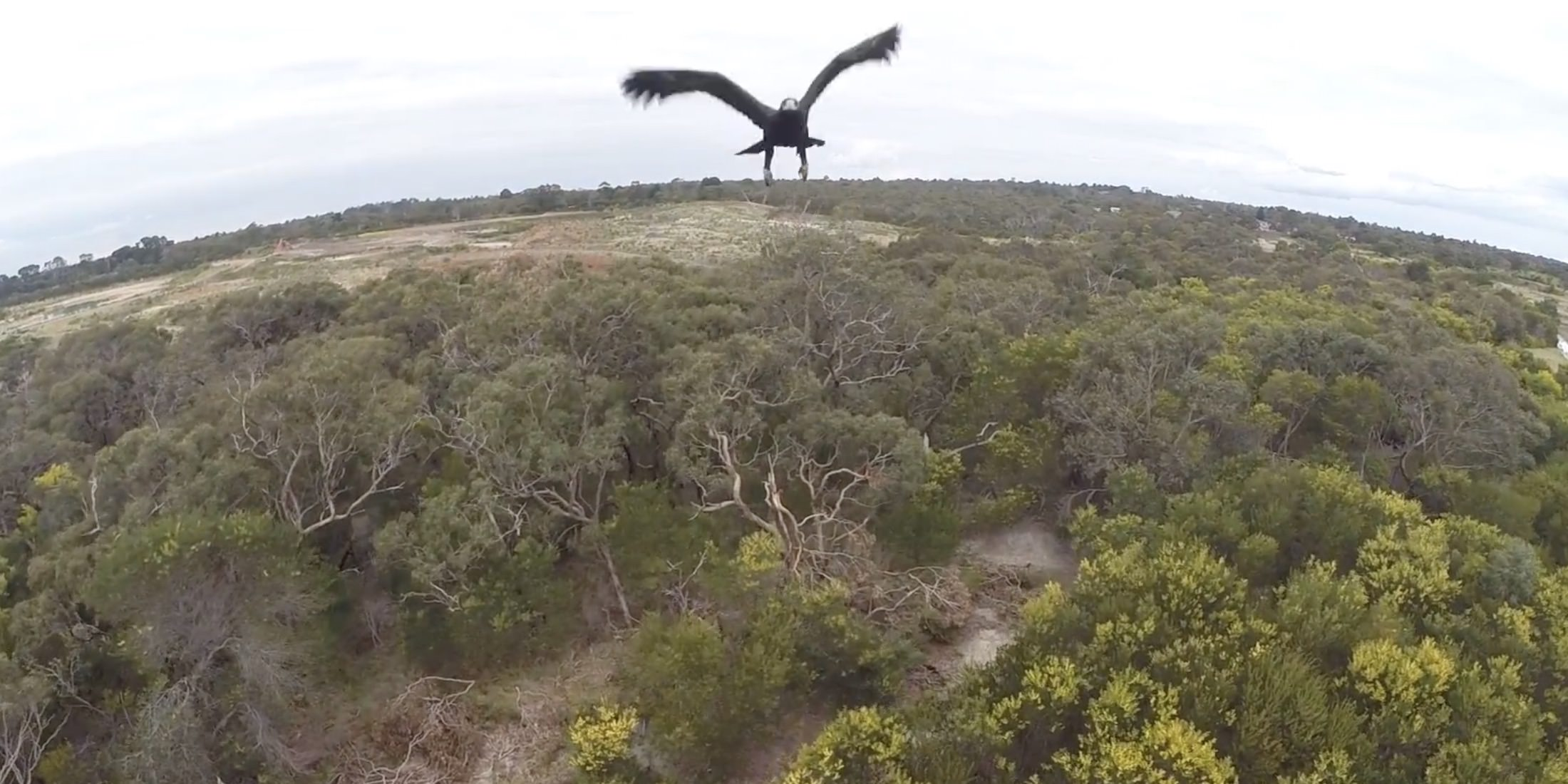 $80,000 drones ripped out of the sky by Australian wedge-tailed