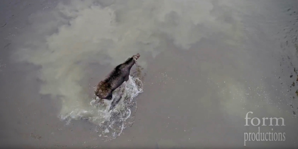 DJI Phantom 4 Pro drone captures moose fighting off a wolf in northern Ontario [video] (0)
