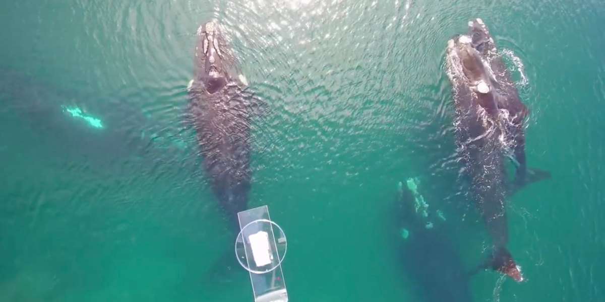 Marine biologists use DJI Inspire to collect whale snot