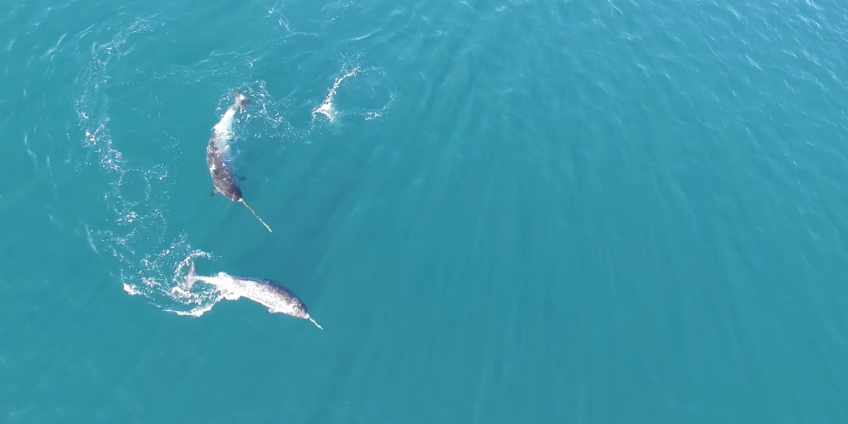 A drone proves it, narwhals hunt with their tusk