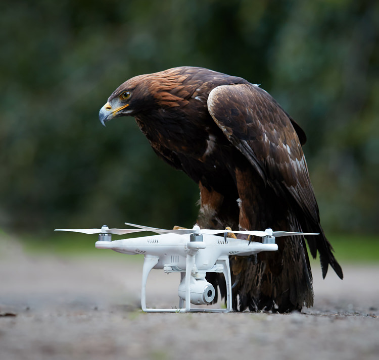 Dutch police halts use of eagles to intercept drones