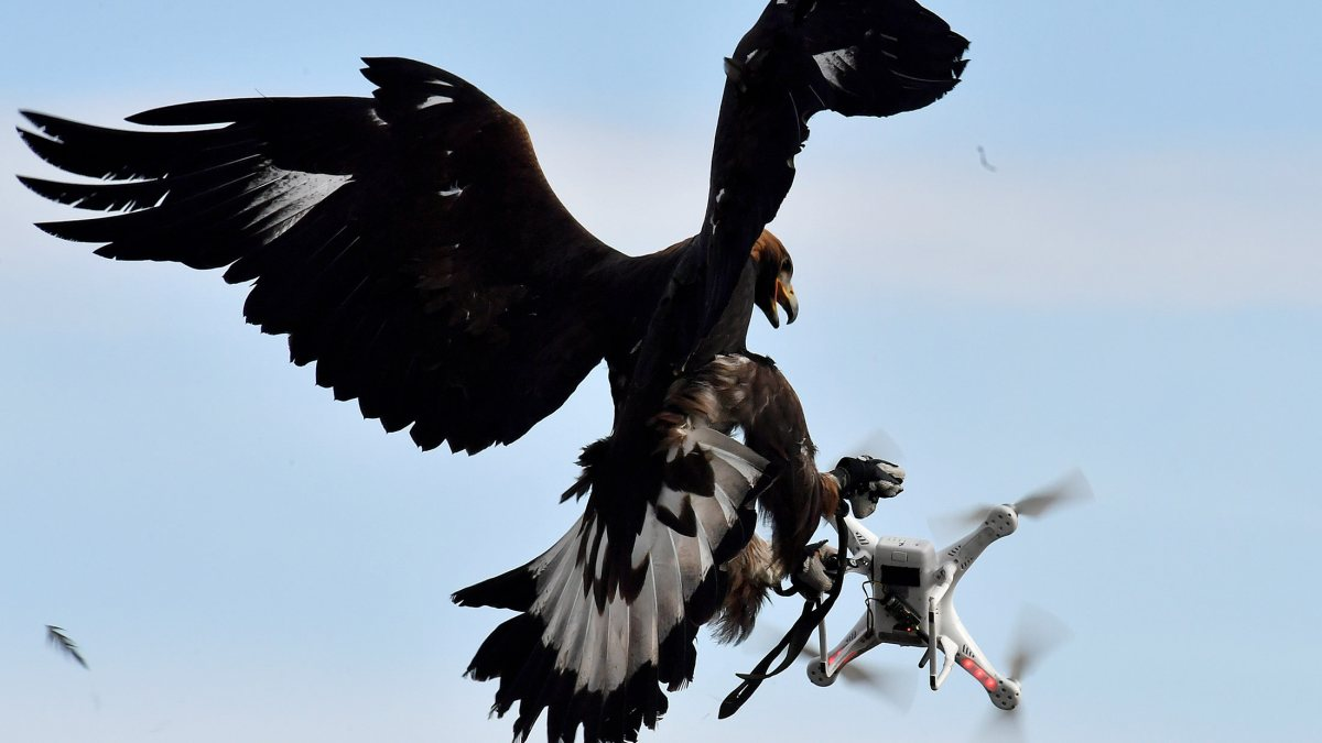 TO GO WITH AFP STORY BY PHILIPPE BERNES-LASSERRE A royal eagle catches a drone during flight during a military exercise at the Mont-de-Marsan airbase, southwestern France, on February 10, 2017. As malicious or poorly controlled drones are becoming more and more a security threat, the French army explores all options for defence. They train royal eagles for six months at the airbase to chase drones. / AFP / GEORGES GOBET (Photo credit should read GEORGES GOBET/AFP/Getty Images)