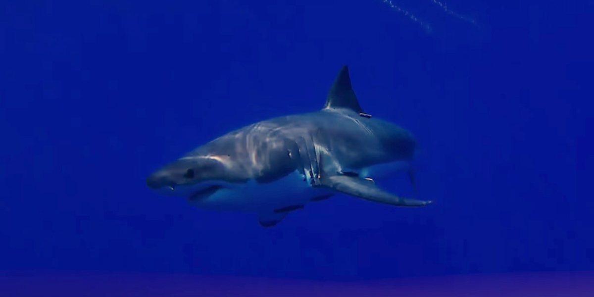 Great white shark attacks Trident submarine drone at Isla de Guadalupe, Mexico [video]