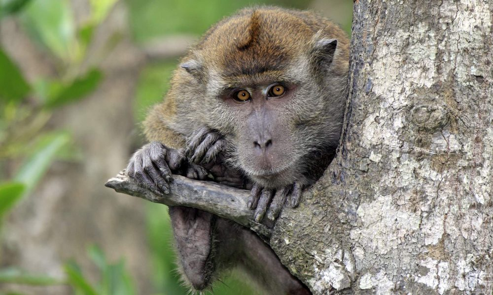 This unusual form of malaria was previously only found in the macaque population