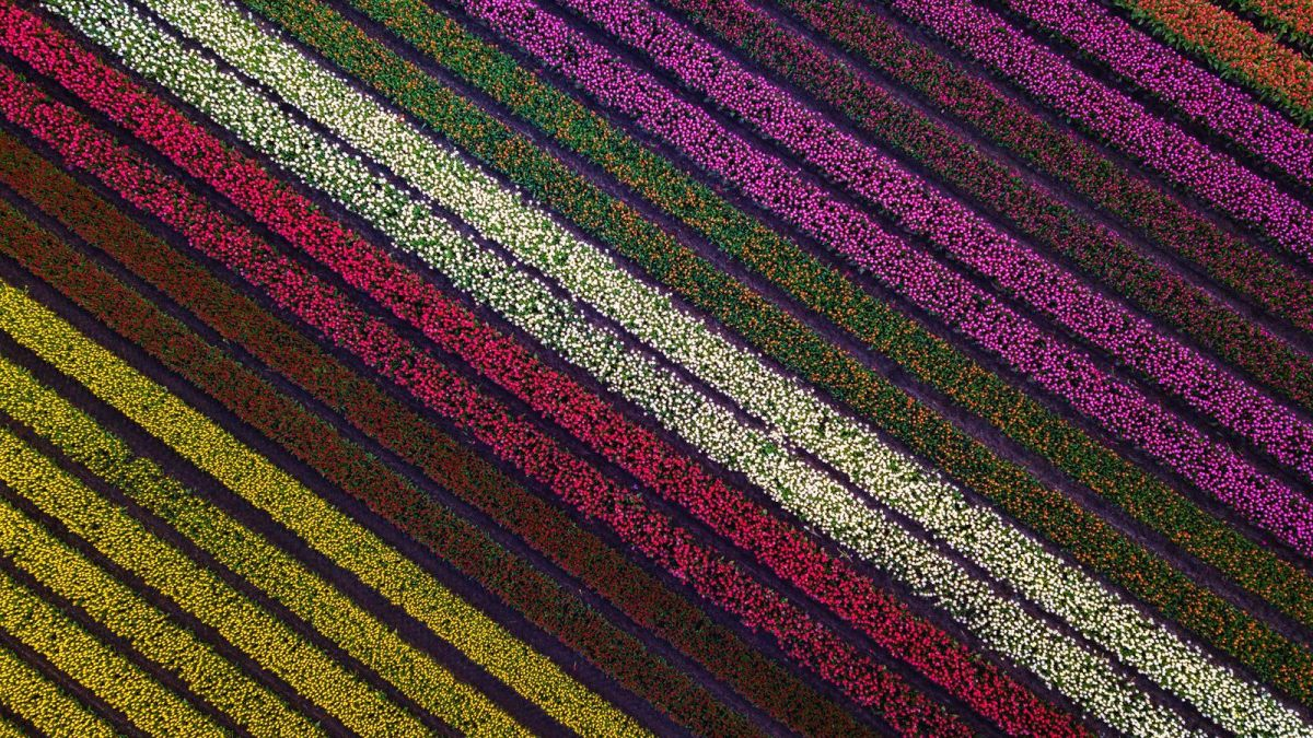 Dutch landscape photographer captures tulips form the sky and create stunning aerial photos