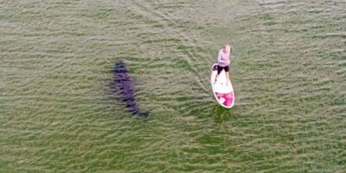 A Great White Shark swims right past a paddleboarder in Cape Cod