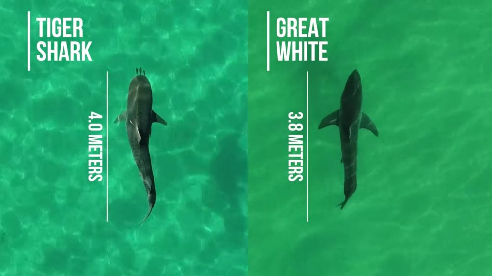 Australian scientists are testing drones to study sharks and to use as a safety device