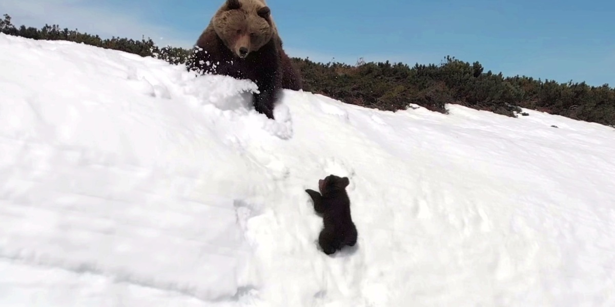 Experts comment on viral bear video captured with a drone