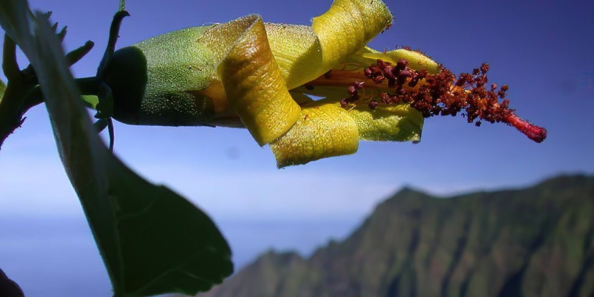 Researchers equipped with drone tech rediscover an extinct flower