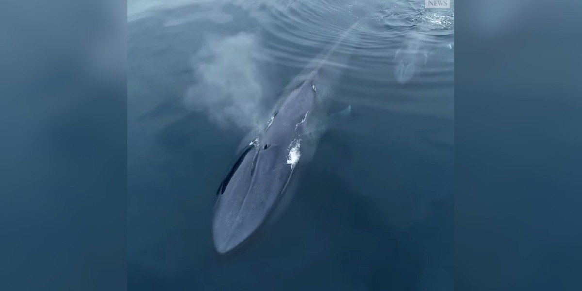 Drone captures rare blue whale and calf off coast of San Diego, Calif.