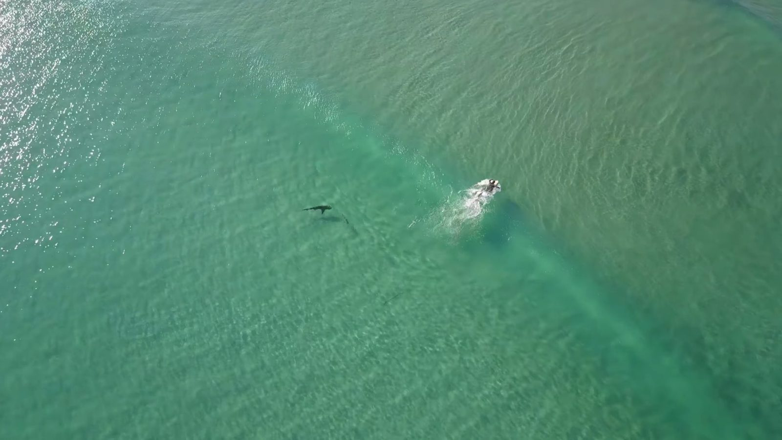 Drone-footage-shows-sharks-swimming-closer-to-people-more-often-than-you-think.jpg
