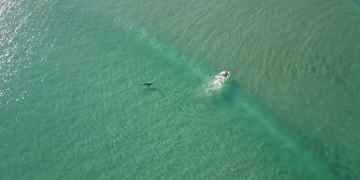 Drone footage shows sharks swimming closer to people more often than you think
