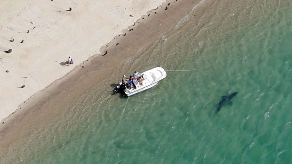 Could Little Ripper drone warn Cape Cod tourists of great white sharks?