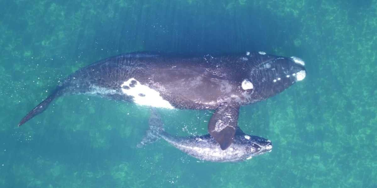 DJI Inspire 1 drone used to 'weigh' whales from above
