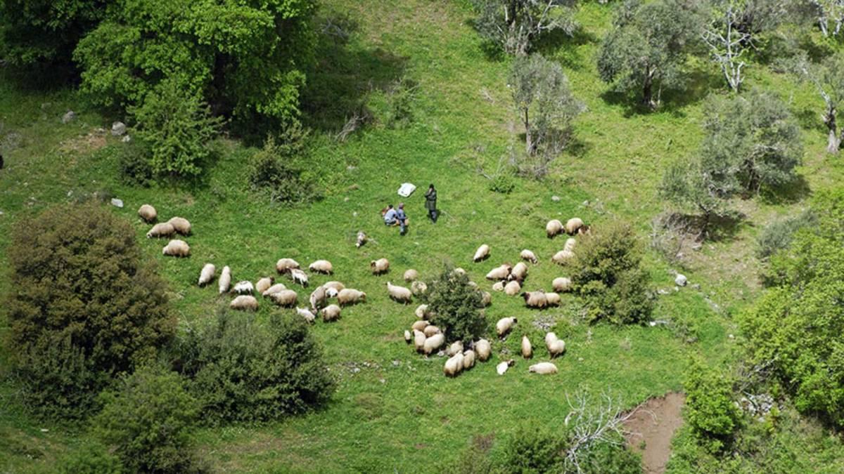 Farmers now teach sheep to follow a drone