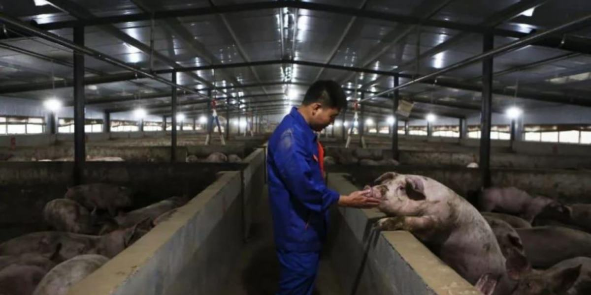 Chinese gangsters use drones to spread African swine fever