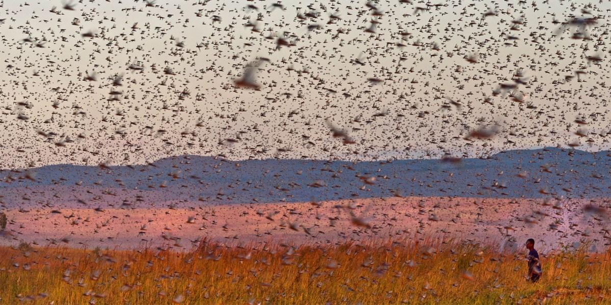 Mauritania desert locusts drones