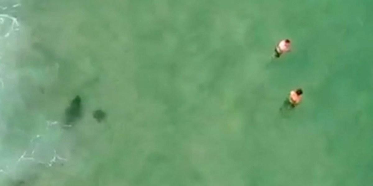 drone great white shark swimmer