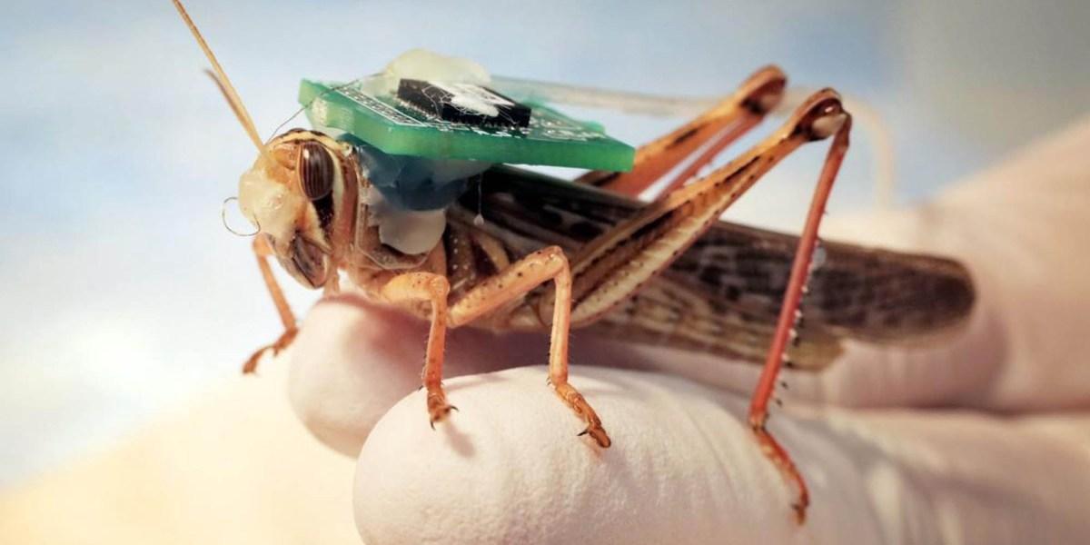Bomb-sniffing locusts US Navy