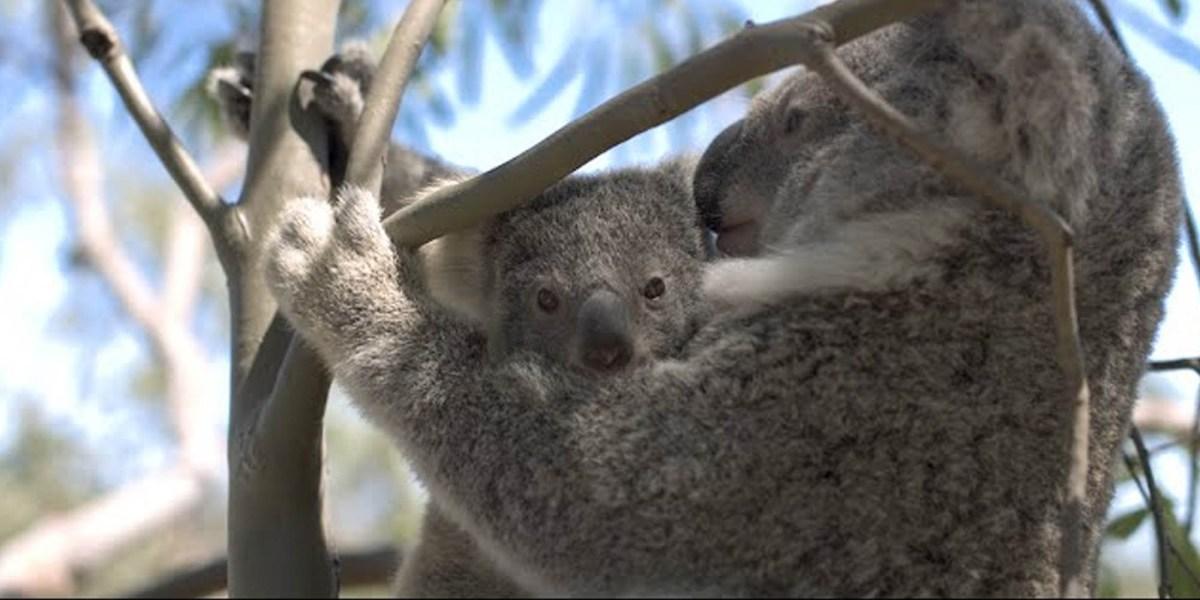 DJI drones Koalas bushfires