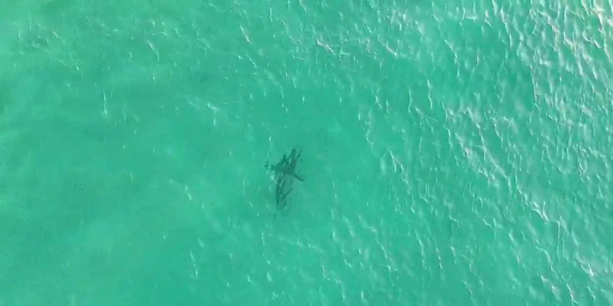 Drone Spots Great White Shark At Bondi Beach Dronedj