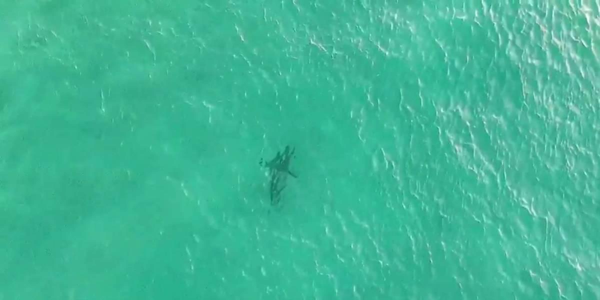 Drone Shark Bondi Beach