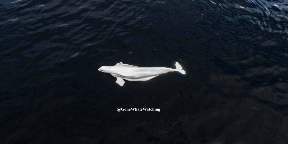 drone Beluga Whale California