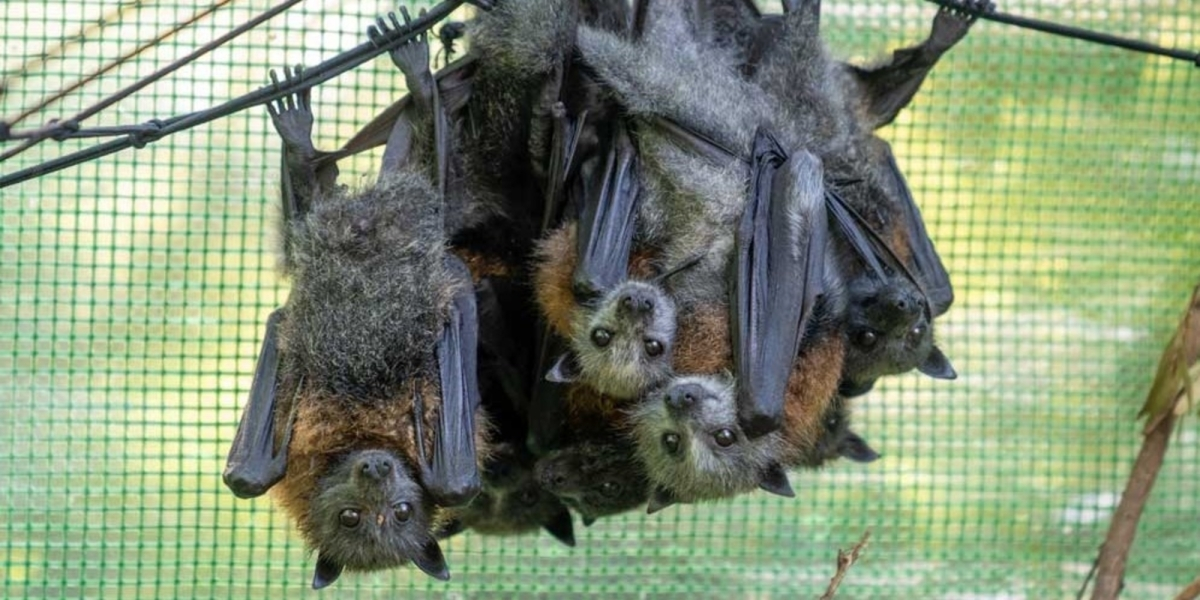 thermal drones flying fox