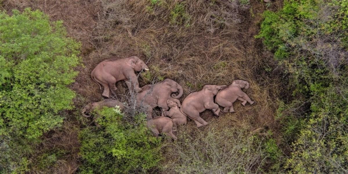 china elephants sleeping
