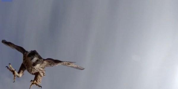 video falcon attacks drone