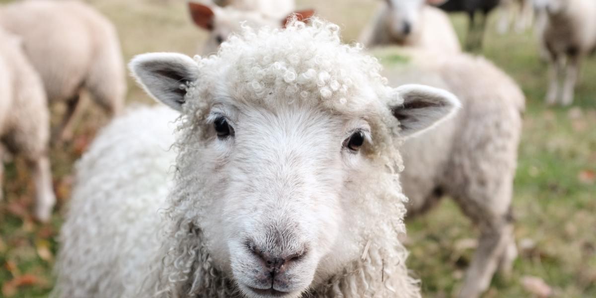sheep drones
