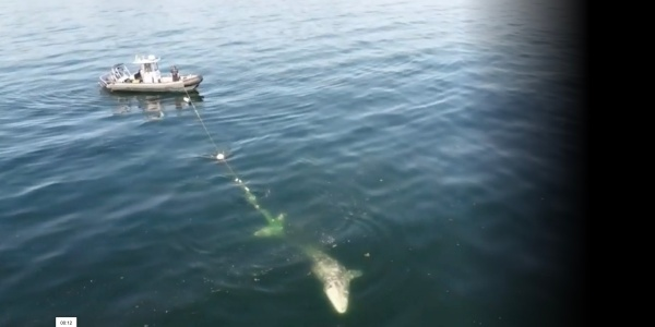 drone video gray whale