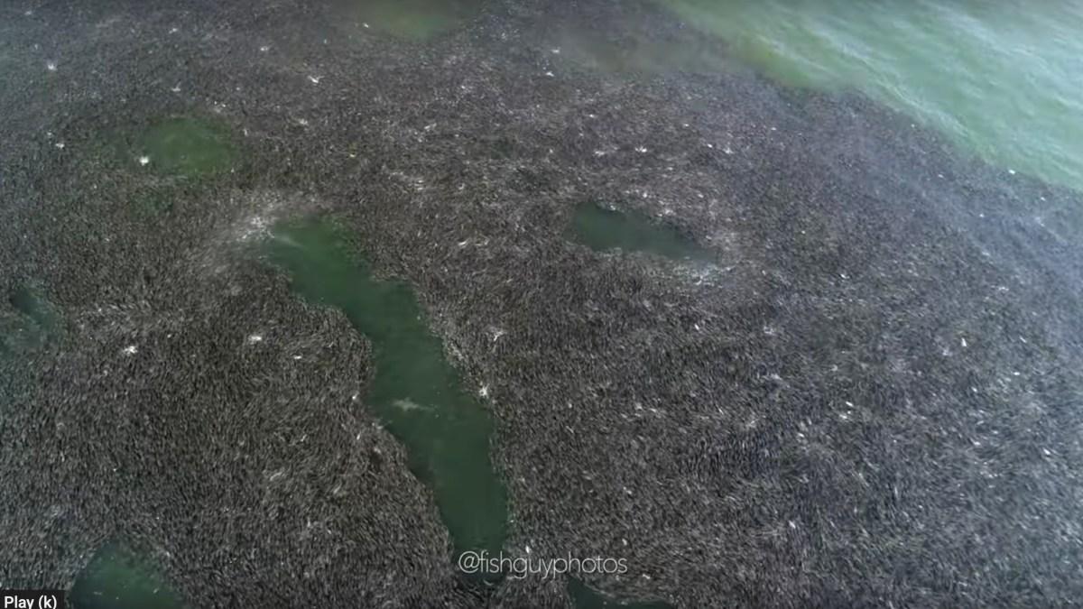 shark drone video