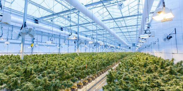 drones marijuana growers