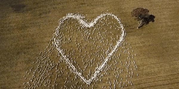 sheep heart drone video