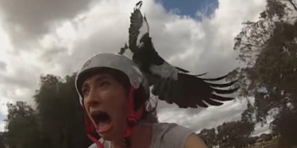 FPV drone video magpie attack
