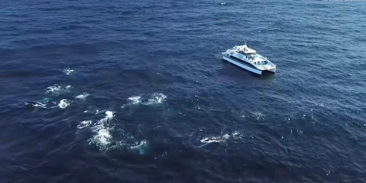 drone video humpback whale feeding